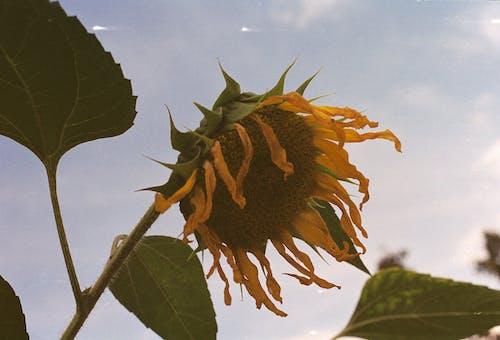 Brown Sunflower Under Blue Sky