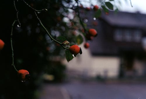 Red Fruit on Tree Branch