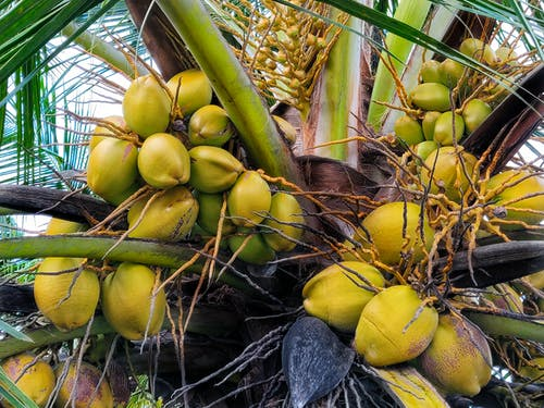 Free stock photo of coconut, Coconut bunch, coconut tree, coconuts