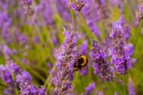 Fotos de stock gratuitas de abeja, al aire libre, campo