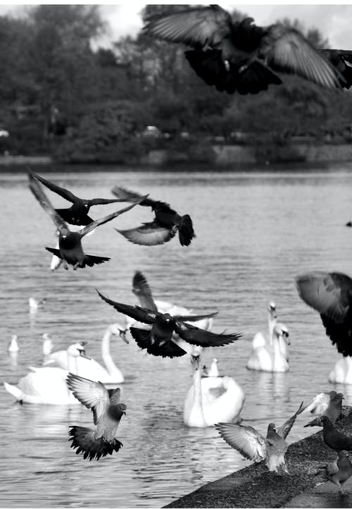 Grayscale Photo of Flock of Birds Flying over the Lake