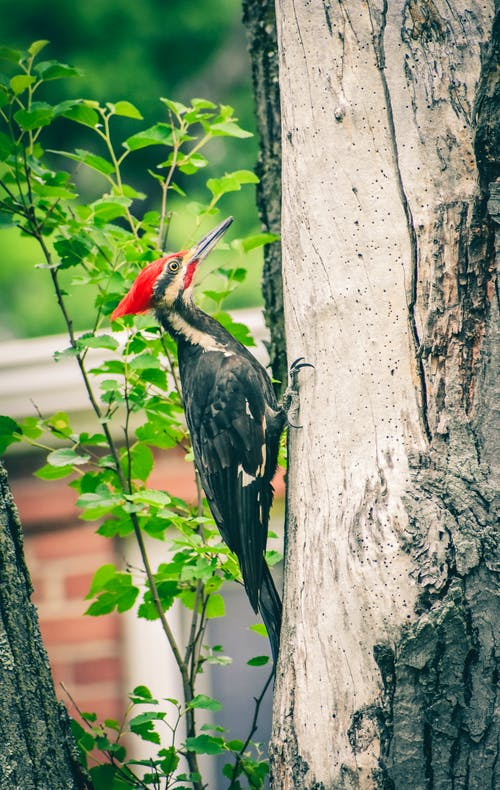 Woodpecker resting on bark of tree
