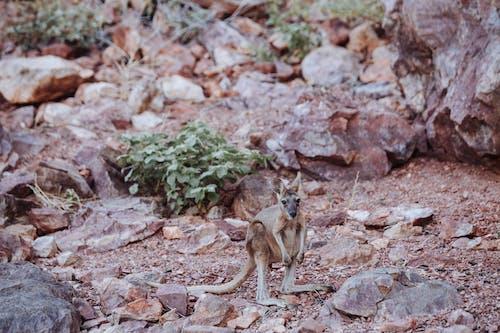 Full length cute young kangaroo standing on vast stony ground in natural habitat