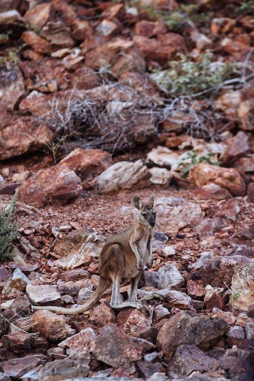 Kangaroo with brown coat on stone terrain