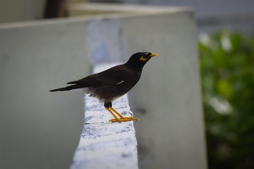 Free stock photo of bird, myna