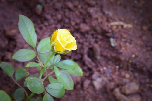 Free stock photo of flower, rose, yellow