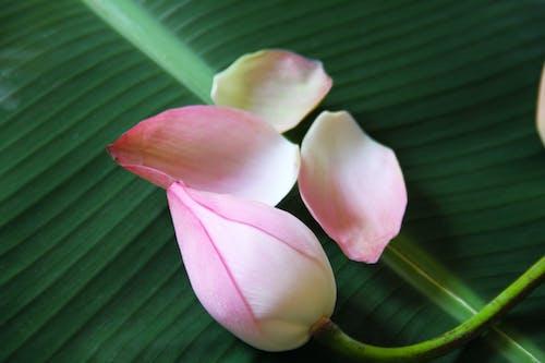 Free stock photo of banana leaf, closeup, leaf, lotus