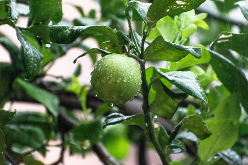 Free stock photo of drops, fruits, garden, green
