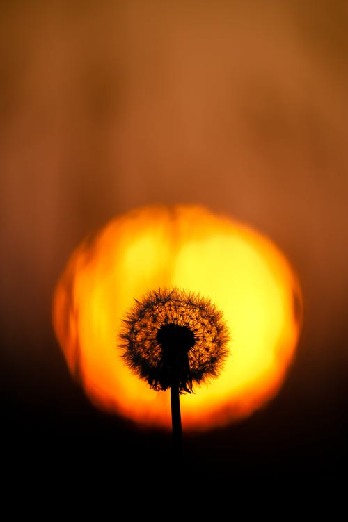 Silhouette of a Flower during Sunset