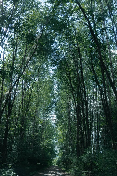 From below of shabby pathway between green trees on thin trunks growing in forest under sky