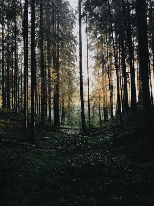Coniferous trees with tall trunks and green branches growing in thick woodland with shadow on summed day in wild nature