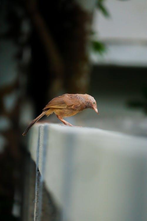 Cute Argya caudata bird sitting on fence