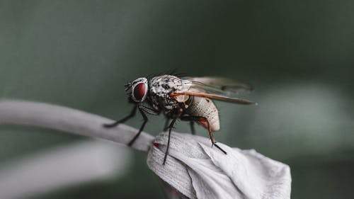 Housefly on closed flower bud