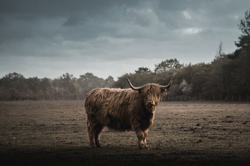 Brown Cow on Brown Field