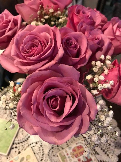 꽃, 분홍색 장미, 장미의 무료 스톡 사진