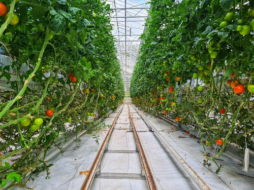 Green and red tomatoes growing on high bushes in contemporary greenhouse with automatic watering system
