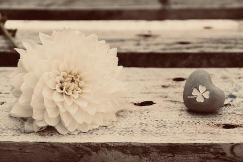 Darmowe zdjęcie z galerii z alles gute zum geburtstag, blume in voller blüte, dahlie, drewno