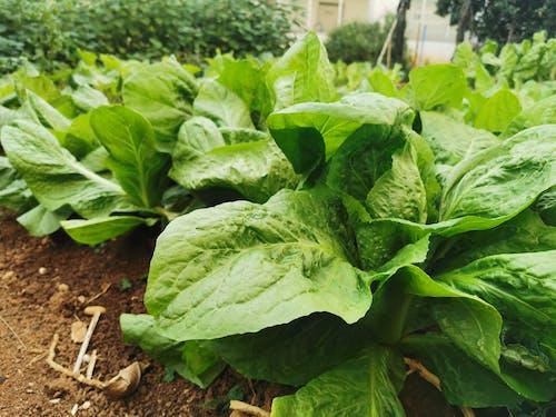 Free stock photo of folhas, folhas verde escuro, hortaliças