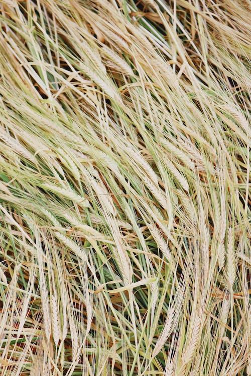 Immagine gratuita di agricoltura, azienda agricola, campo, cannuccia