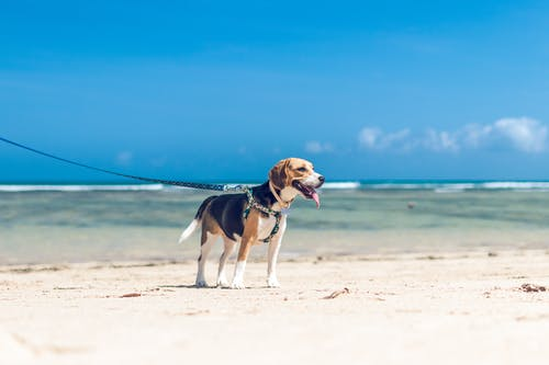 Tricolor Beagle Running on Beach
