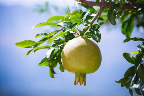Yellow Fruit on Tree Branch