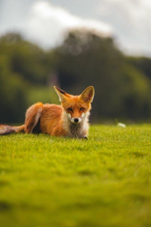 Brown Fox Lying on Green Grass