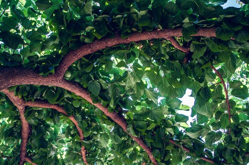 Free stock photo of leaves, mulberry, natural