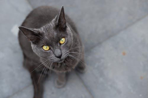 Russian Blue Cat on Gray Floor