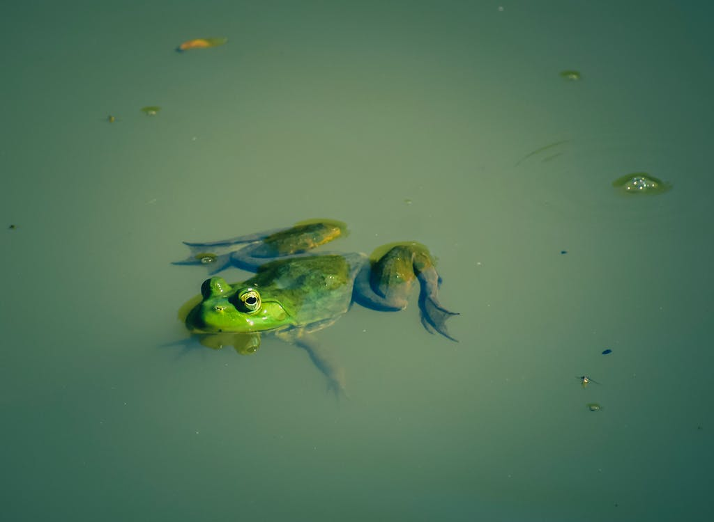 From above of small bright frog swimming in dirty green water of pond in sunny day