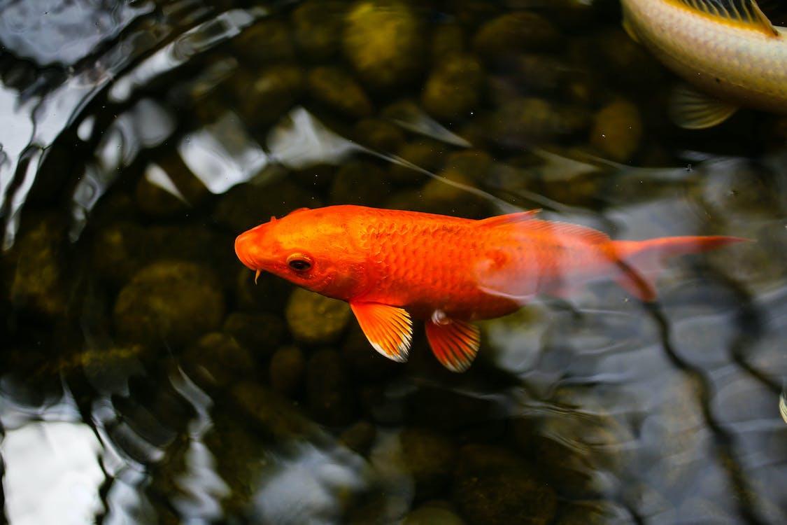 Апельсиновая и белая рыба в воде