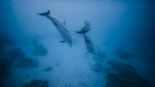 Dolphins swimming in deep blue water