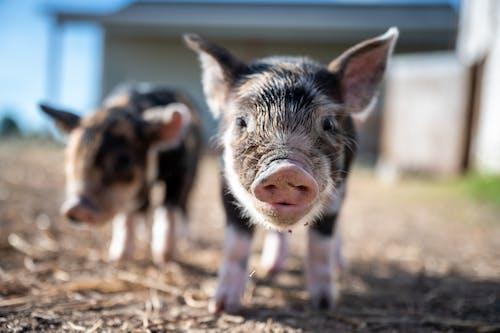 Black and White Pig Walking on Brown Soil