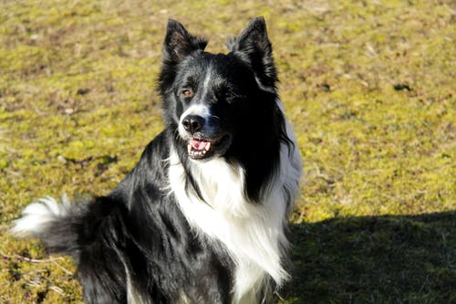 Black and White Border Collie Sitting on Green Grass Field