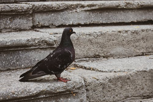 Free stock photo of pigeon, steps