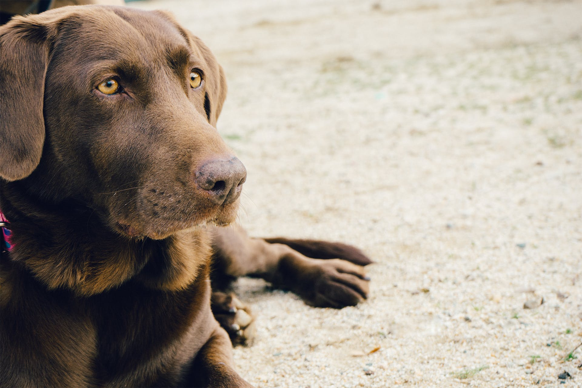 Focus Photography of Adult Chocolate Labrador Retriever