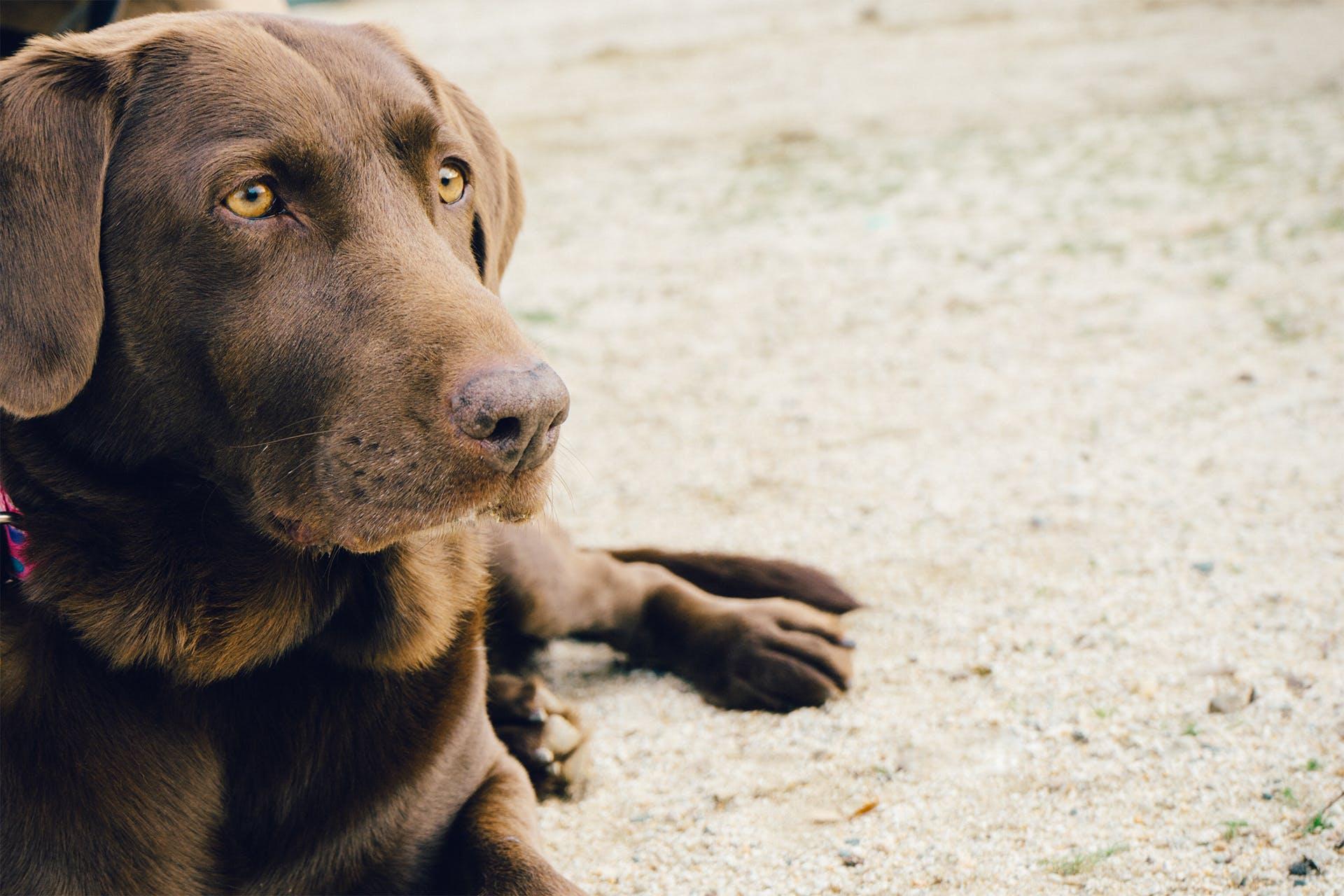 Focus Photography of Adult Chocolate Labrador Retriever