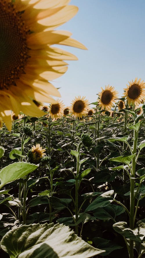 Picturesque scenery of blooming sunflowers growing in field in countryside in sunny day