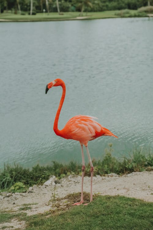 From above of American flamingo with red plumage and long neck standing on coast near rippled pond in zoological garden