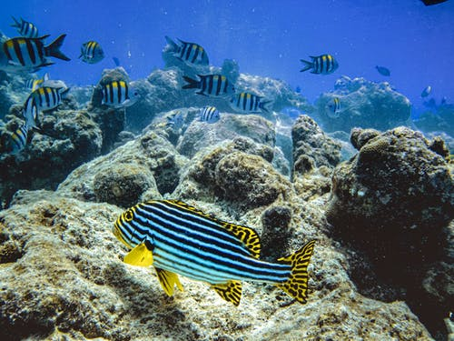 Blue and Yellow Striped Fish