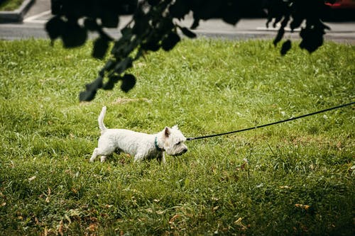 White Long Coat Small Dog With Leash on Green Grass Field