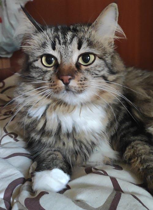 Ilmainen kuvapankkikuva tunnisteilla kissan shama, кошка шама