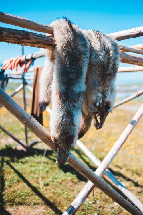 Furry skin of killed animal hanging on wooden fence on grassy terrain in Norstead Viking Village on sunny day