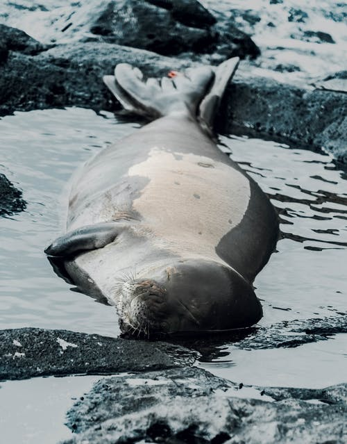 คลังภาพถ่ายฟรี ของ ขั้วโลก, ง่วงนอน, ซีลทะเล