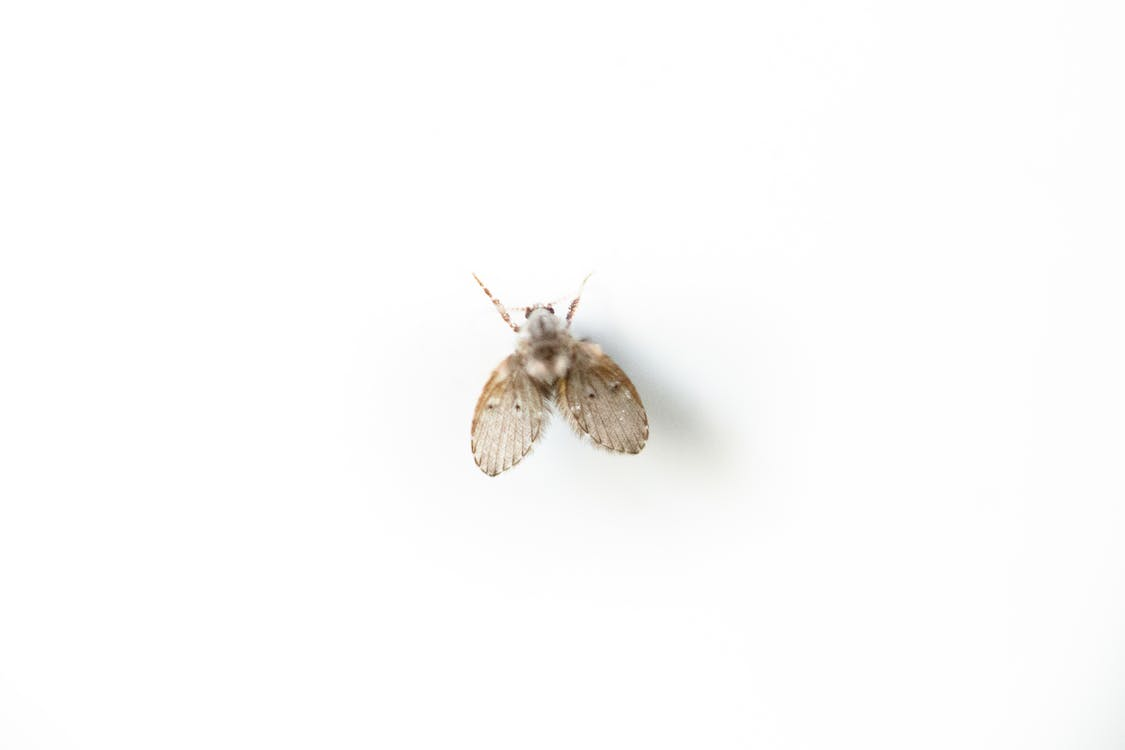 Small Psychodidae on white surface