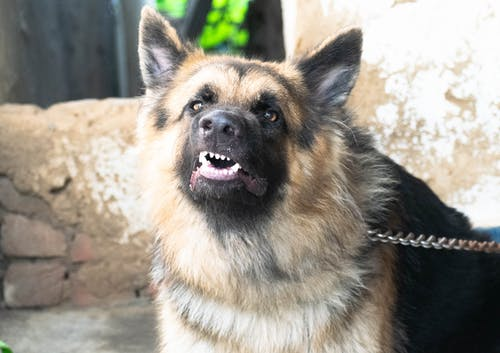 Free stock photo of adorable, animal, bark, barking