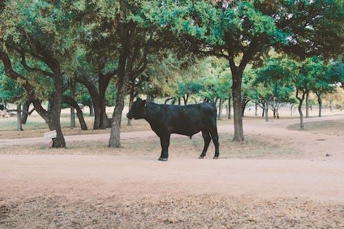 Ảnh lưu trữ miễn phí về bầy đàn, bò, cây