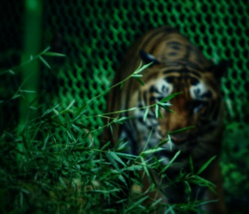 Free stock photo of bengal tiger, tiger, zoo
