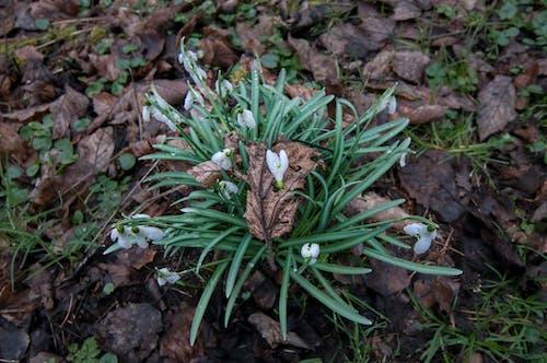 Free stock photo of #květiny, bílá květina, jaro, Ker