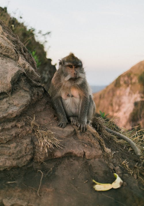 Single furry monkey sitting on rocky slope of hill on coastline in daylight