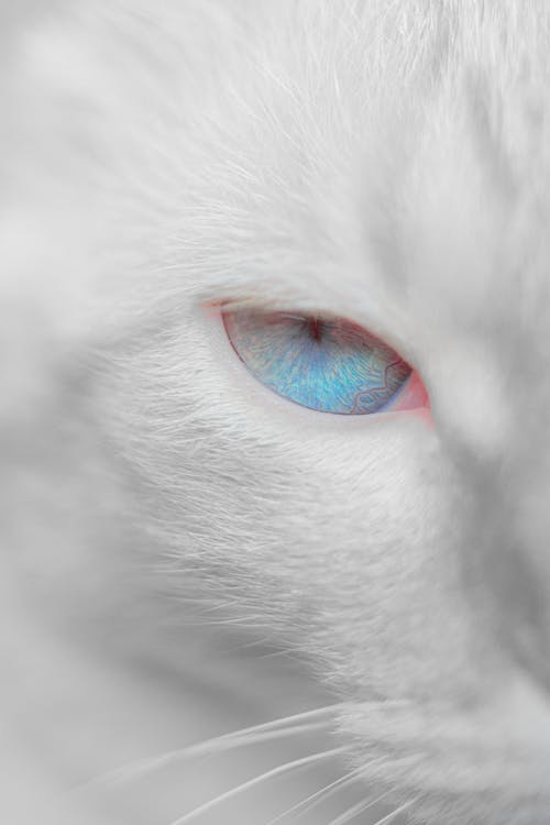 White cat with bright blue eyes